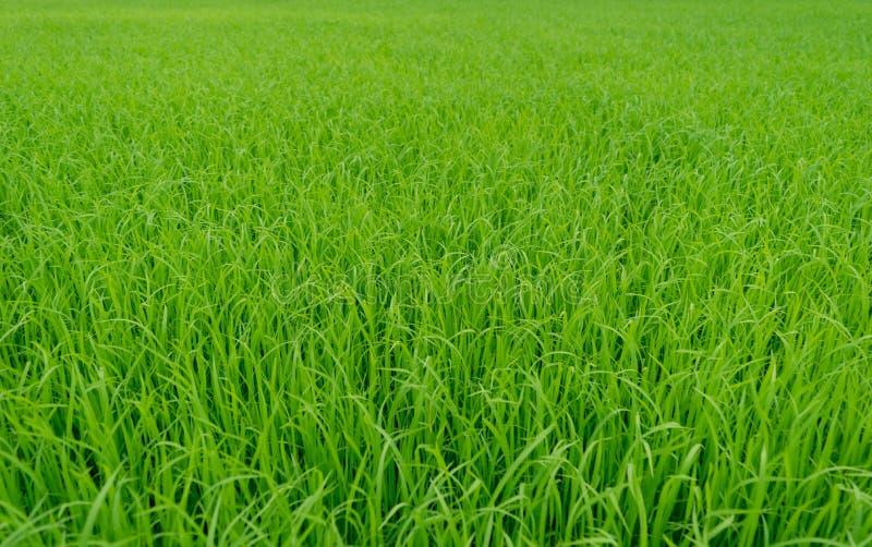 Fondo verde hermoso del campo del arroz de arroz imagenes de archivo