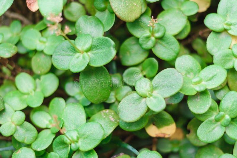 Fondo verde natural del arbusto con el foco selectivo fotografía de archivo