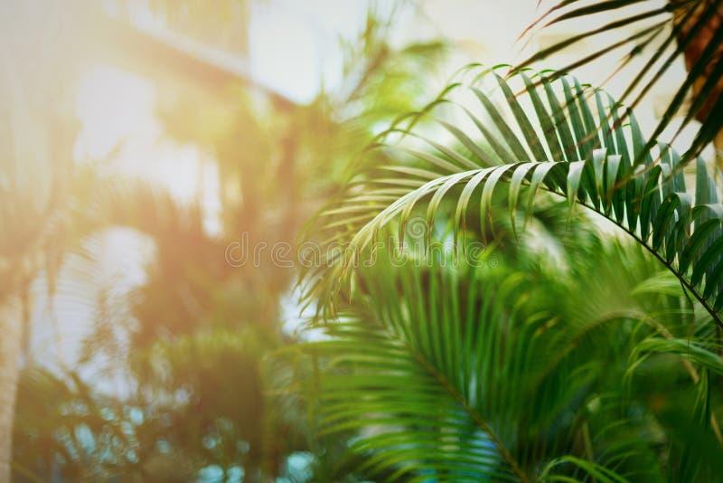 Fondo verde tropical de las palmeras Efecto luminoso de Sun y bokeh soleado Verano, día de fiesta y concepto del viaje con la cop fotografía de archivo