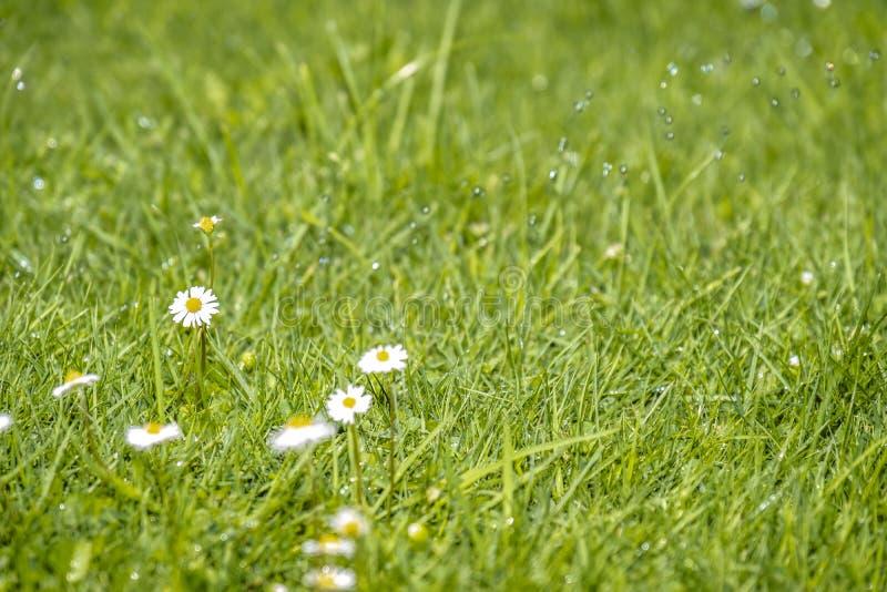 Fondo verde vago di estate con la volata dei fiori delle margherite e dell'erba verde e delle gocce di acqua immagini stock libere da diritti