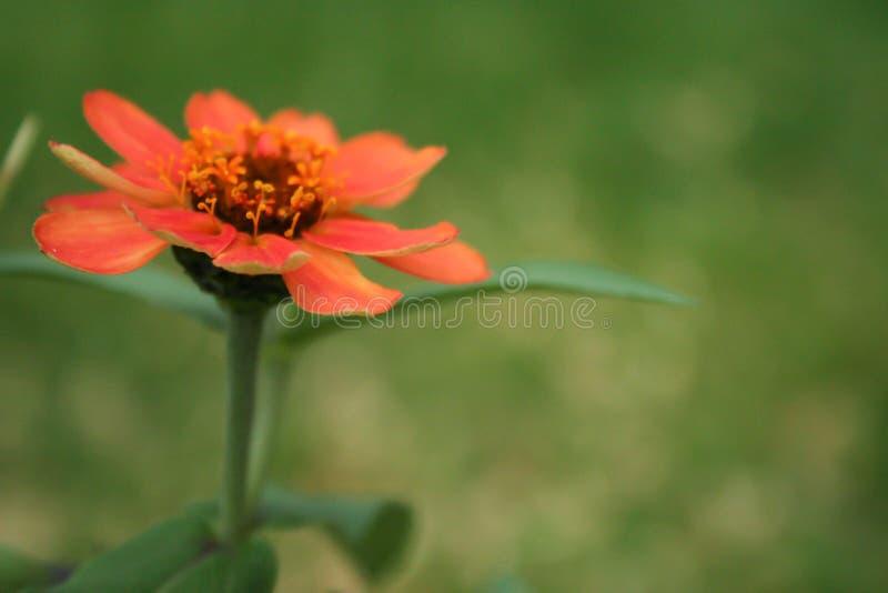 Fondo verde vago fiore arancio fotografia stock libera da diritti