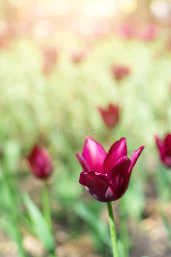 Fondo vertical de los tulipanes púrpuras Tulipanes violetas en el jardín de flores, arboreto con luz del sol Bandera vertical de  foto de archivo libre de regalías