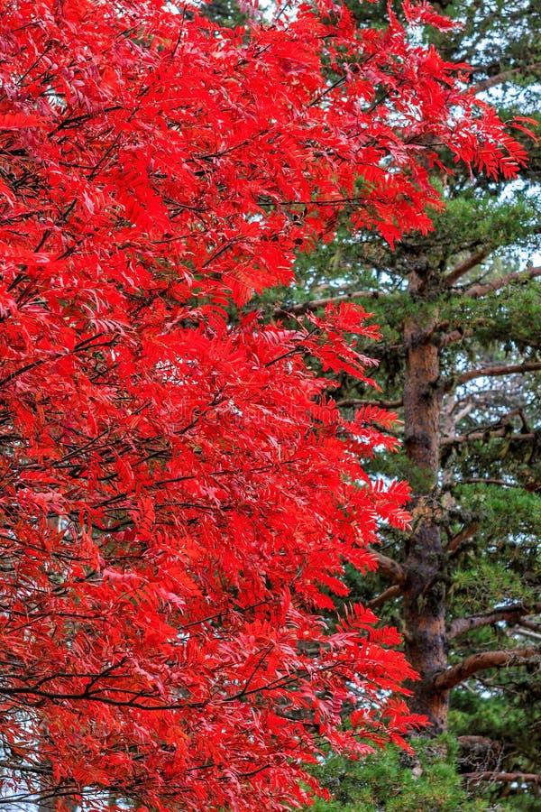 Fondo vertical natural del bosque del otoño Hojas del rojo contra conífera verde del árbol de pino imagen de archivo libre de regalías