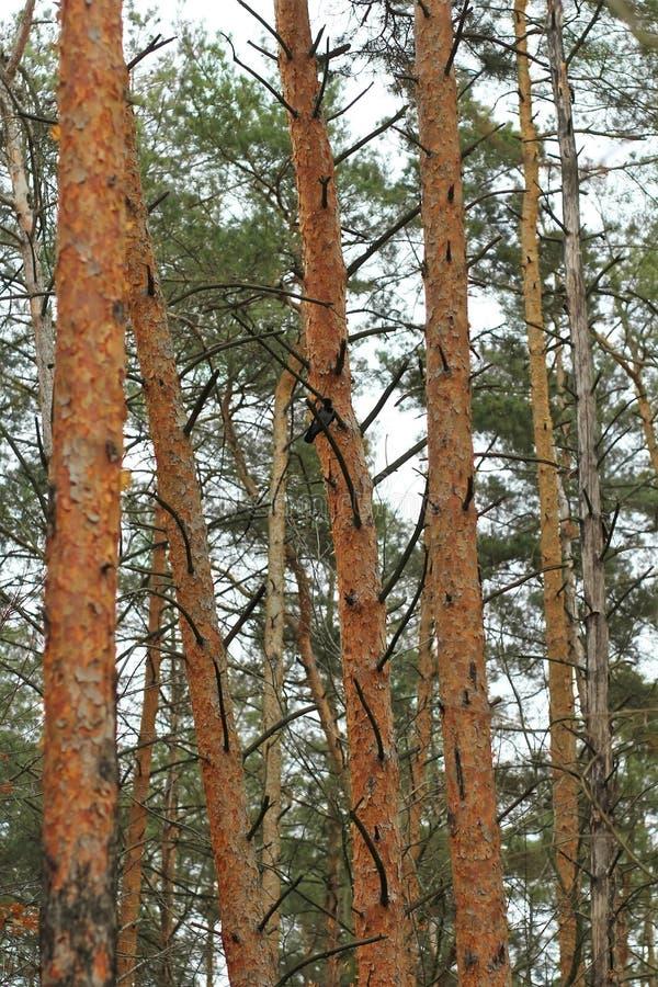 Fondo verticale di inverno dell'estratto della foresta del pino con un corvo fotografia stock