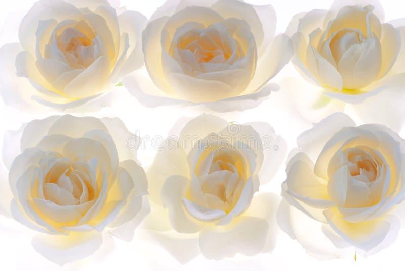 Fondo vivo dei fiori del fiore della rosa di bianco fotografie stock