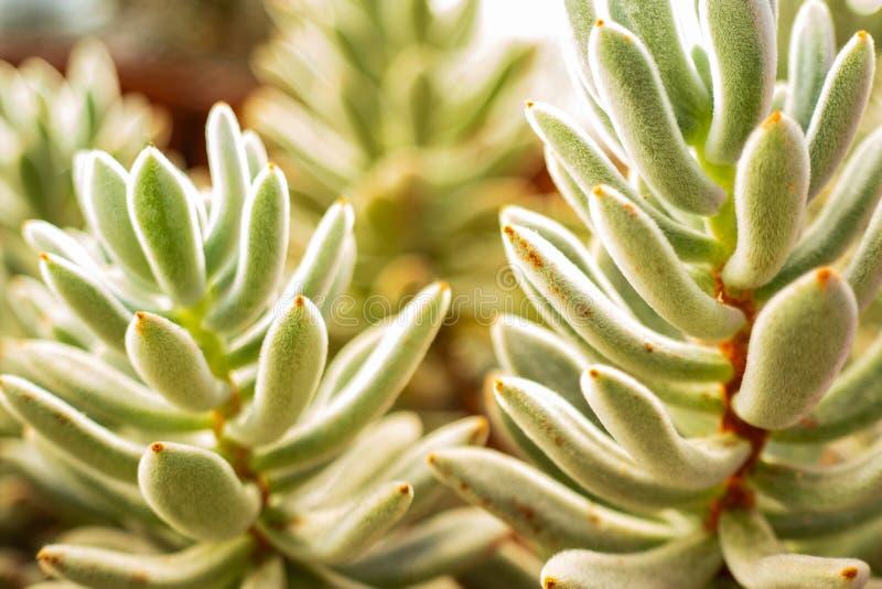 Fonds d'image brouillés des succulents, macro images stock