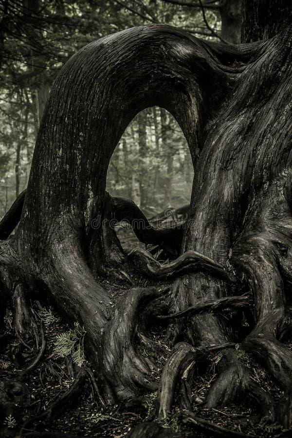 Fonds noueux d'arbre images libres de droits