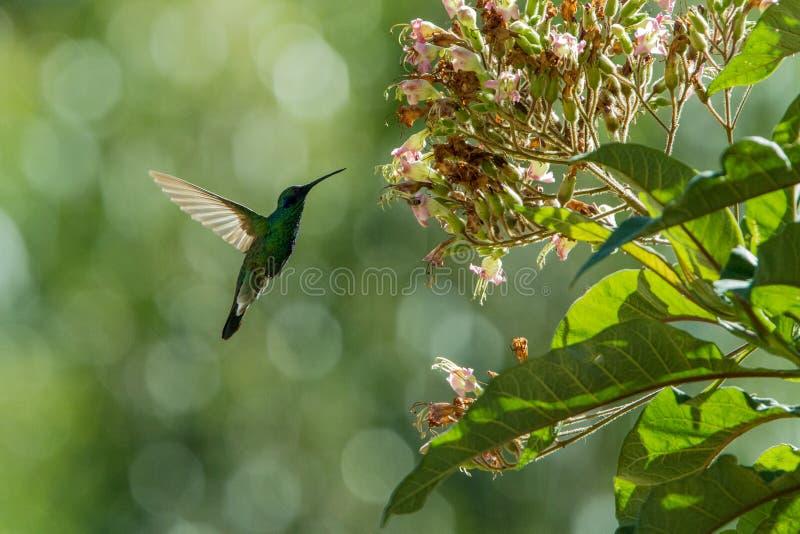 Fonkelend violet-oor, Colibri die coruscans, naast bloem, vogel van hoge hoogten hangen, machupicchu, Peru stock afbeeldingen