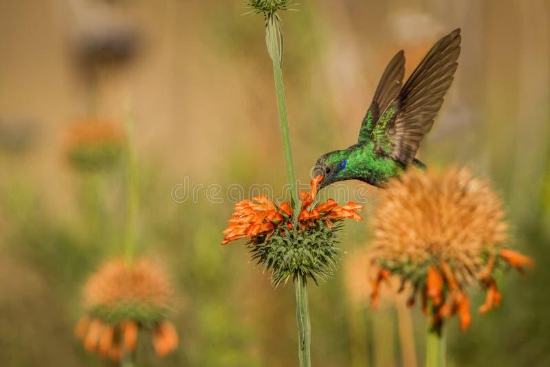 Fonkelend violet-oor, Colibri die coruscans, naast oranje bloem, vogel van hoge hoogten hangen, machupicchu stock afbeelding