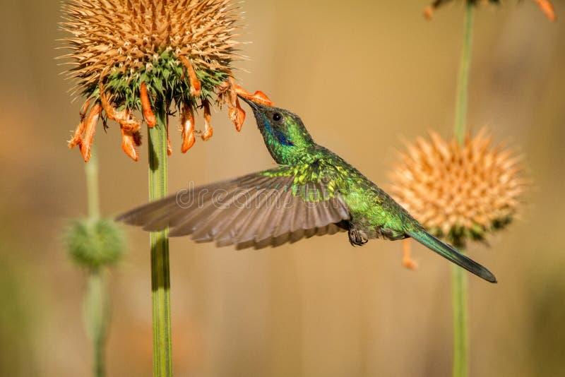 Fonkelend violet-oor, Colibri die coruscans, naast oranje bloem, vogel van hoge hoogten hangen, machupicchu stock foto's