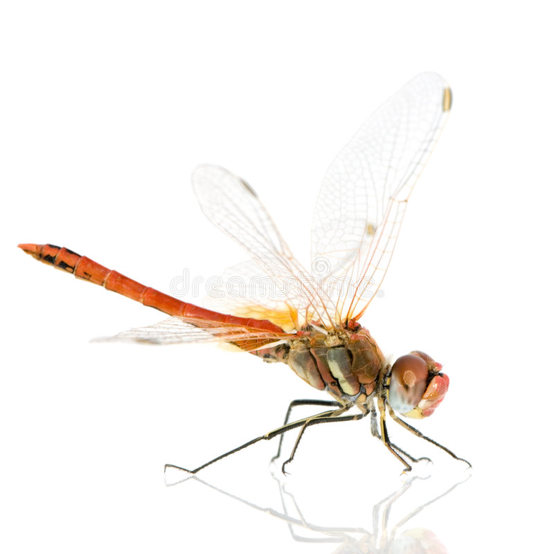 Fonscol di Sympetrum - di Drangonfly fotografie stock libere da diritti