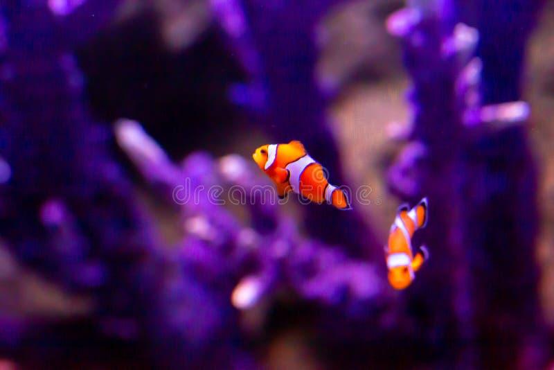 Font le clown les poissons au beau milieu des coraux image stock