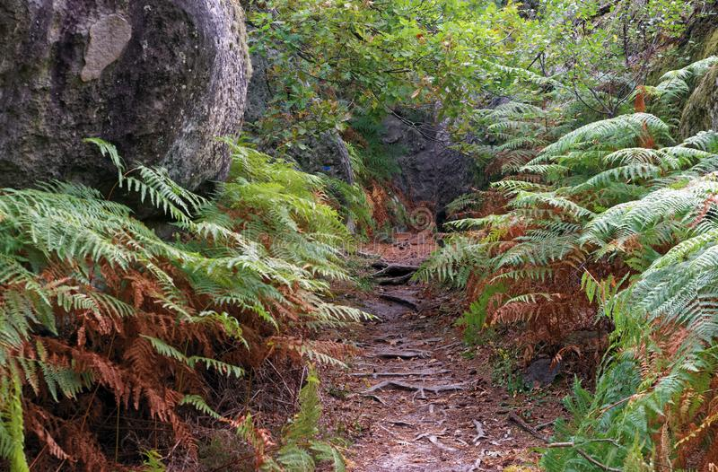 Hiking trail and ferns n Fontainebleau forest royalty free stock image