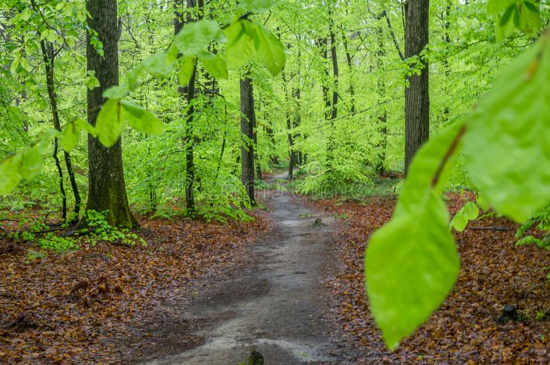 Fontainebleau forest after rain in spring stock photography