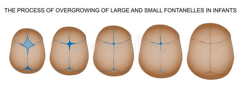 Fontanelle in pasgeborenen stock illustratie