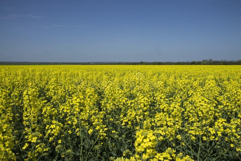 Fonte di energia verde Campo del seme di ravizzone Giacimento giallo della colza in fioritura Cielo blu immagine stock