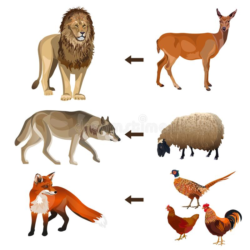 Food chain animals. Vector illustration on white background stock illustration