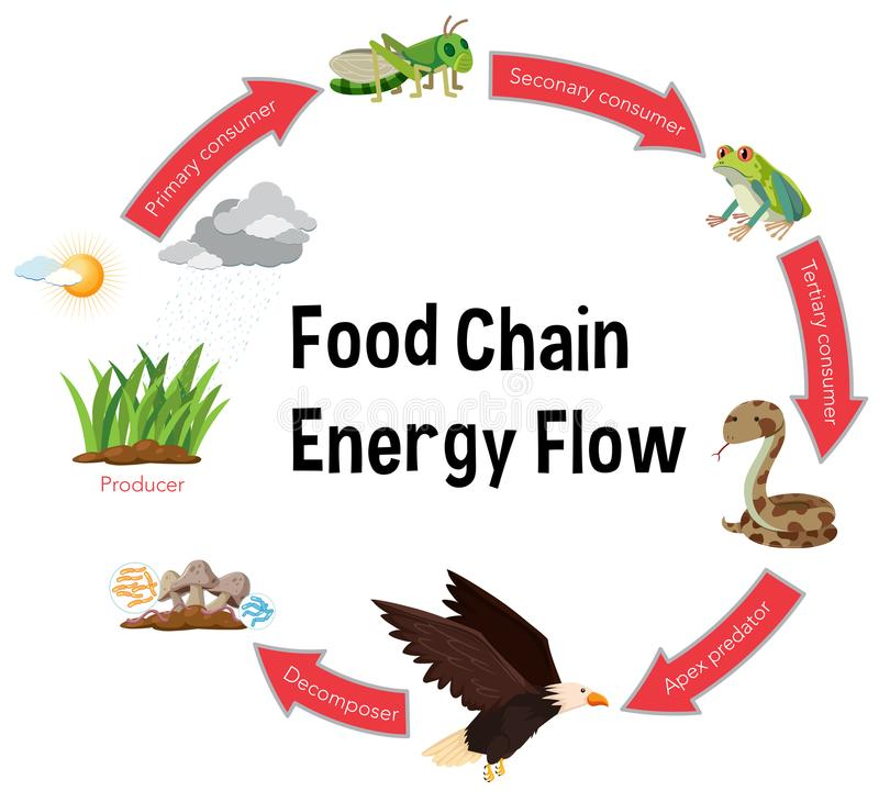 Food chain energy flow diagram vector illustration