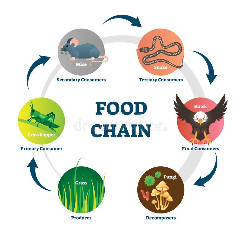 Food chain vector illustration. Labeled nature eating model circle scheme. Educational diagram with decomposers, producer, primary, secondary, tertiary and vector illustration