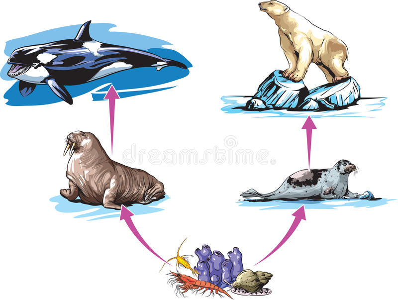 Food chain. Vector illustration of North pole food chain example vector illustration
