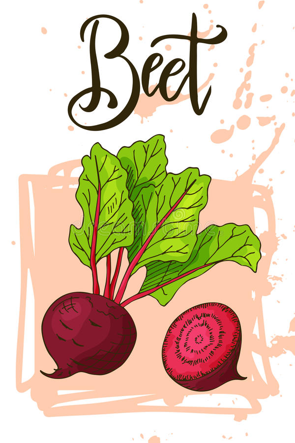 Food design with vegetable. Hand drawn sketch of beet. Organic fresh product for card or poster design for cafe, market. Colorful vector illustration royalty free illustration