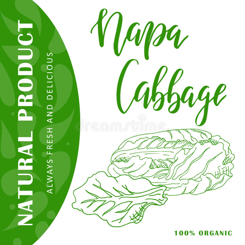 Food design with vegetable. Hand drawn sketch of napa cabbage. Organic fresh product for card or poster for cafe, market. Food design with vegetable. Hand drawn royalty free illustration