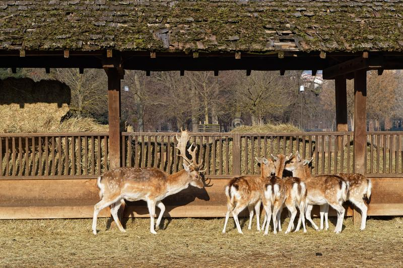 Food for the fallow deers. Fallow deers in the zoo of Parc de la Tete d`Or royalty free stock image
