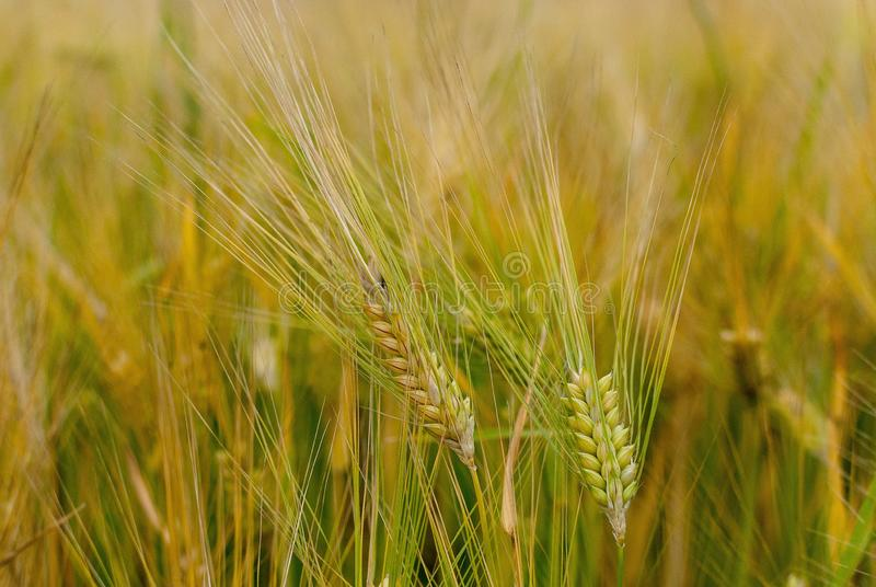 Food Grain, Barley, Cereal, Wheat Free Public Domain Cc0 Image