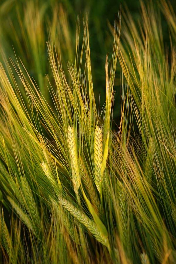 Food Grain, Barley, Grass Family, Rye Free Public Domain Cc0 Image