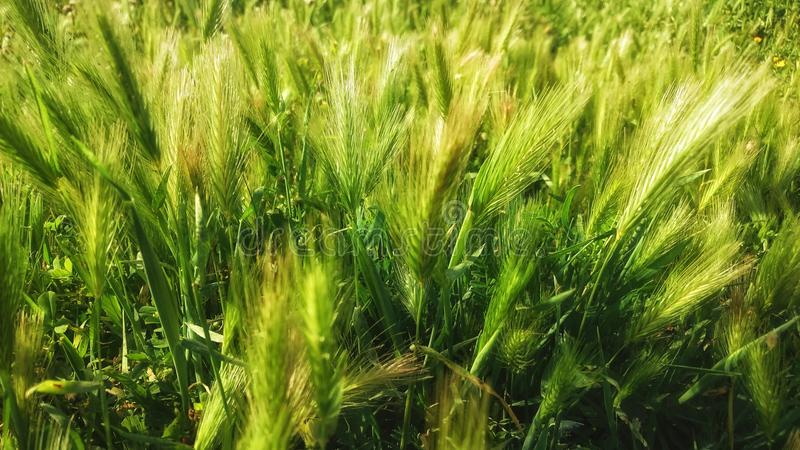 Food Grain, Barley, Triticale, Grass Family stock photo
