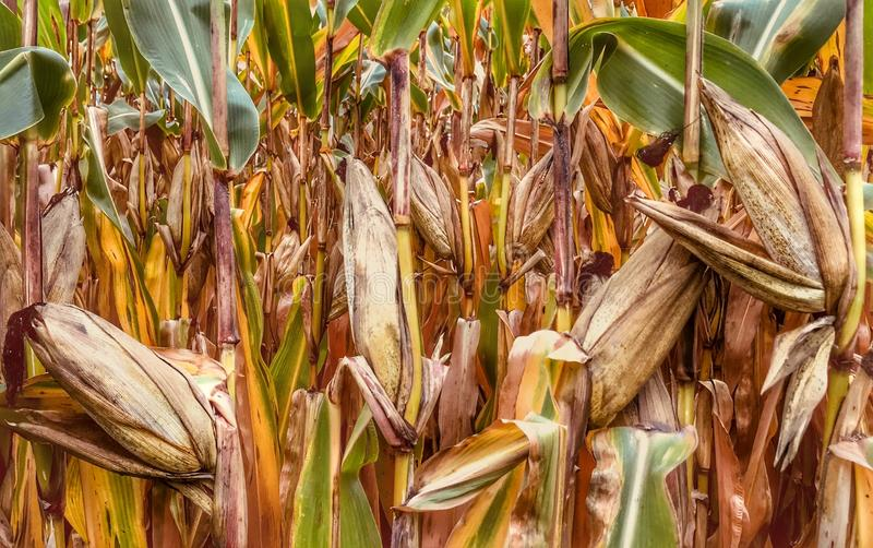 Food Grain, Maize, Commodity, Grass Family royalty free stock photo