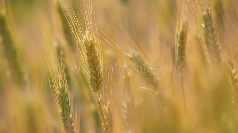 Food Grain, Wheat, Barley, Field Free Public Domain Cc0 Image