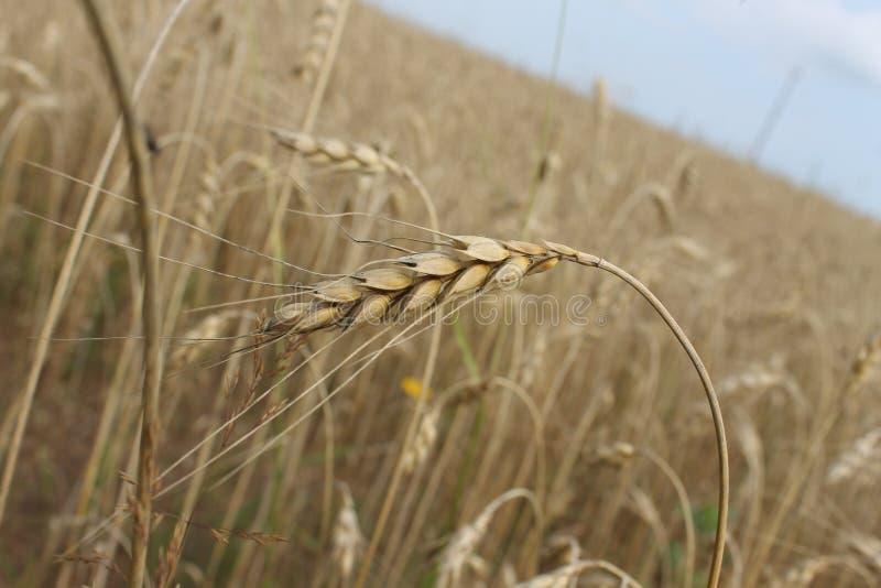 Food Grain, Wheat, Rye, Grass Family Free Public Domain Cc0 Image