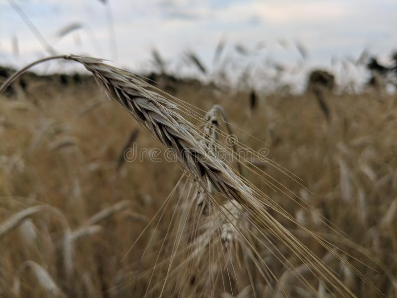 Food Grain, Wheat, Rye, Grass Family Free Public Domain Cc0 Image