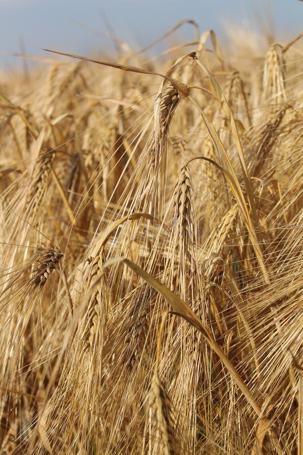Food Grain, Wheat, Triticale, Barley Free Public Domain Cc0 Image