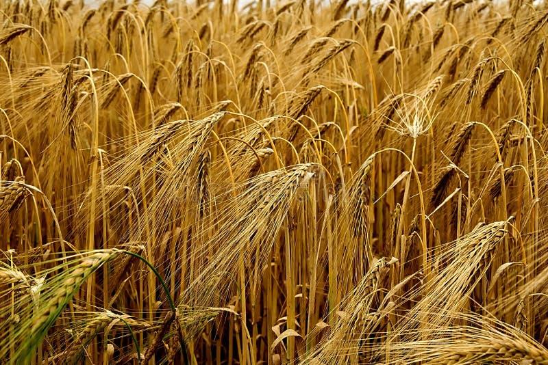 Food Grain, Wheat, Triticale, Grain Free Public Domain Cc0 Image