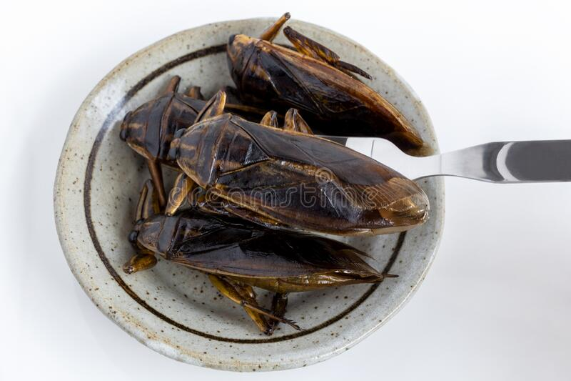 Food Insects: Giant Water Bug for eating as food. Insect items cooking deep-fried snack on plate with fork on white background, it. Is good source of protein royalty free stock photography