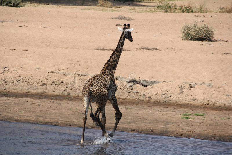 Giraffe in the water day time. stock images