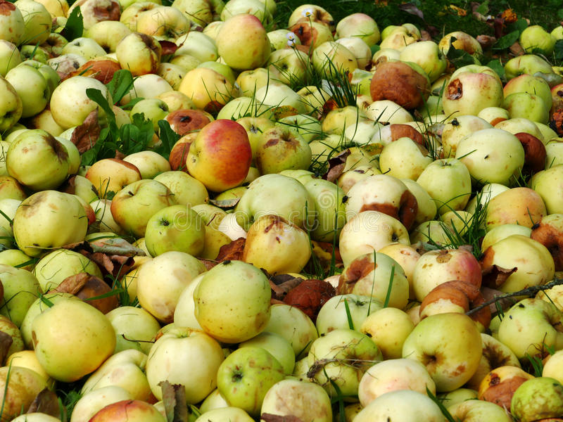 Food overproduction, apples rot on the garbage dump. Overproduction food - apples are thrown away to garbage and they rot on the dump royalty free stock photos