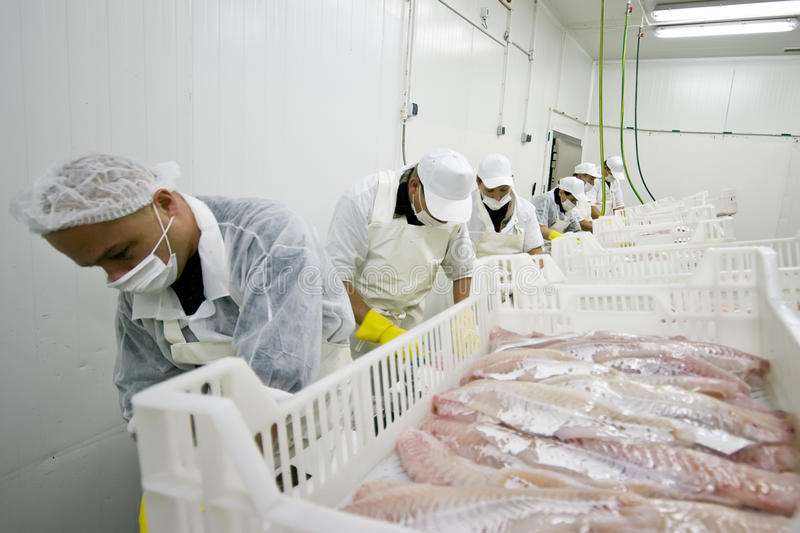 Food processing. Production line of food processing factory, workers cutting cod fillets royalty free stock photo