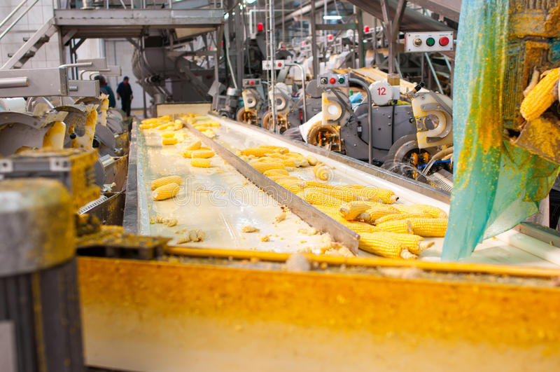 Food Processing. Corn on production line in a food industry stock photos