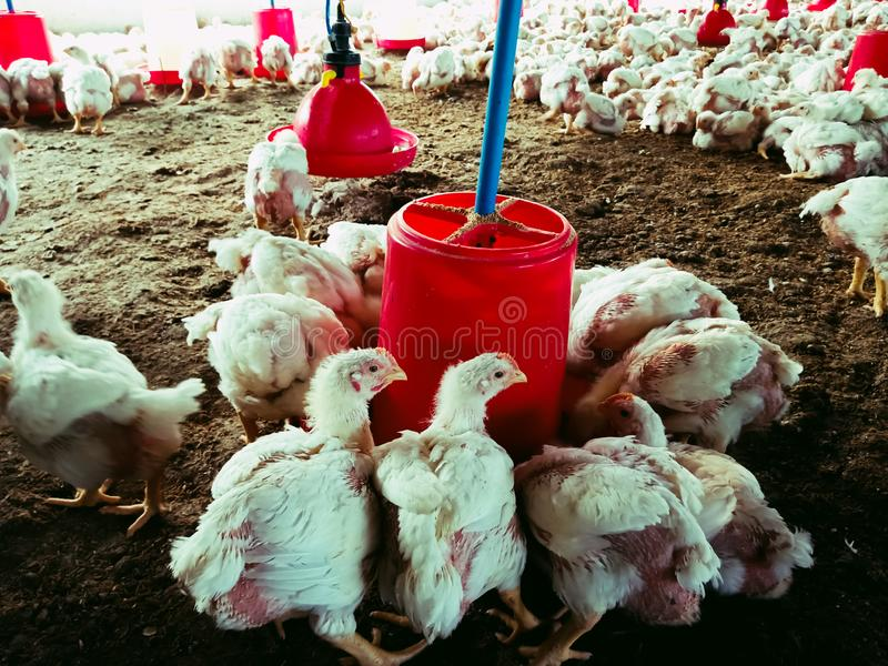 Food and water container hanging on poultry farmhouse soil background stock photos