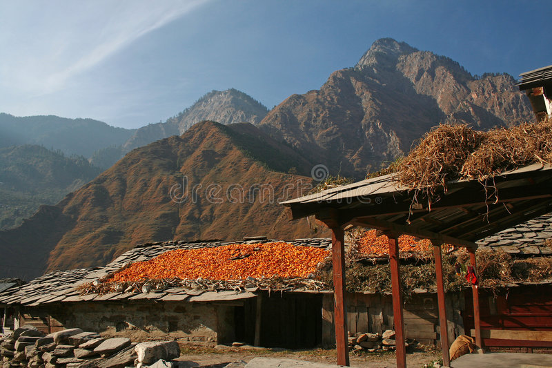 Download Foodgrain Management -Corn Sun Drying In Remote Tr Stock Image - Image: 7091003