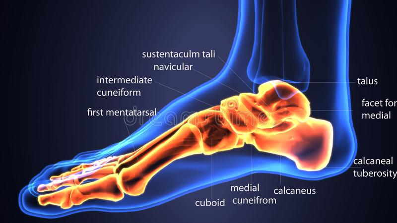 3d Illustration Of Skeleton Foot Bone Anatomy Stock Illustration ...