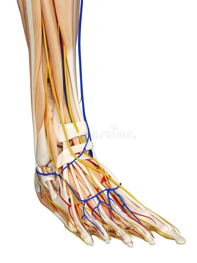 The foot anatomy royalty free illustration