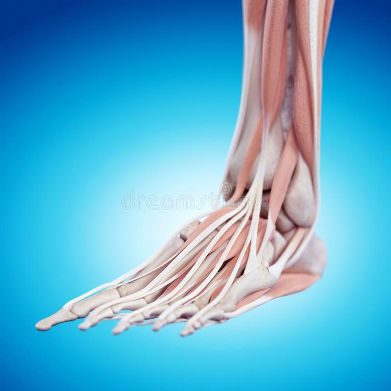 The foot anatomy vector illustration