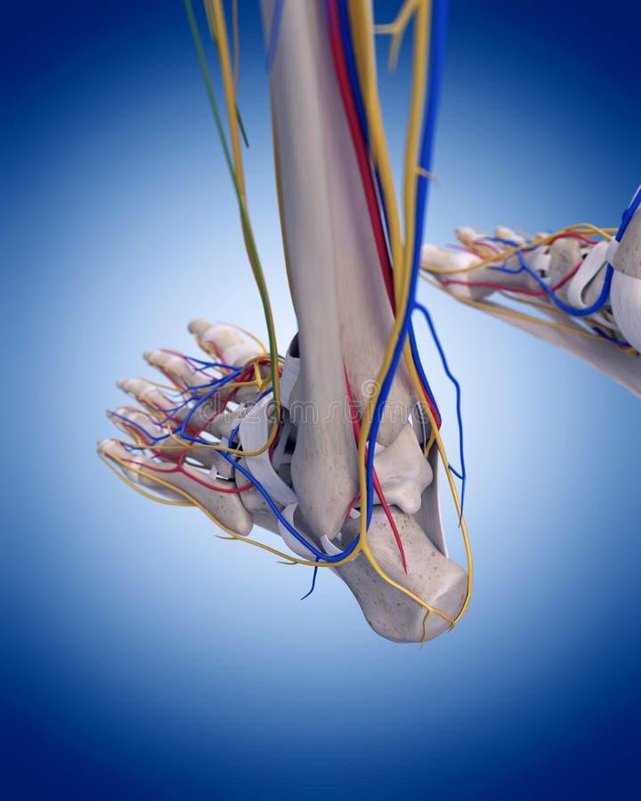 The foot anatomy stock illustration