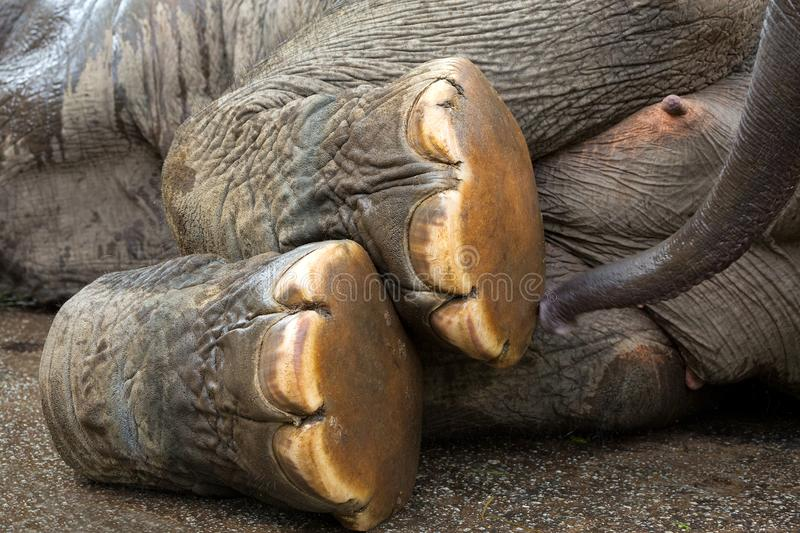 Foot of Asian Elephant. stock photography