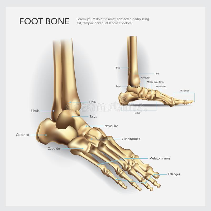 Foot Bone Anatomy stock vector. Illustration of complexity - 103119565