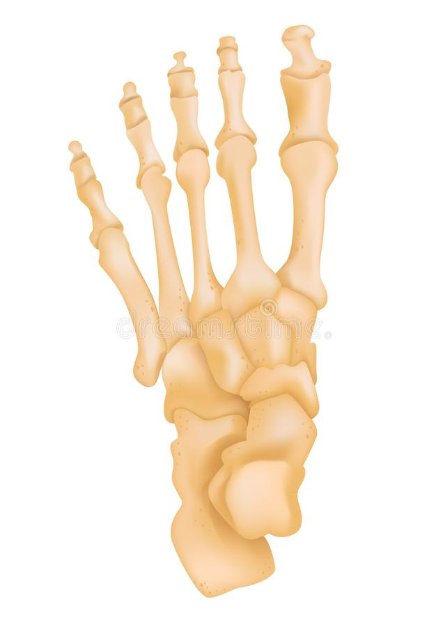 Foot bone anatomy stock vector. Illustration of proximal - 118428583